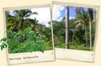 Moringa – der Wunderbaum des Lebens