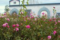 Die Rosen im Gartenschaupark Zülpich stehen in voller Blüte!