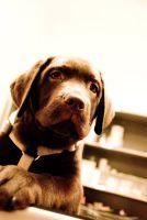 Labrador nach der Behandlung aufgrund einer allergischen Reaktion