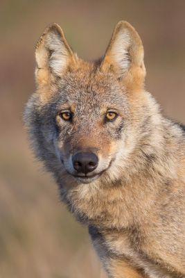 """In der Ausstellung """"Faszination Wolf"""" das Leben des Wolfs mit allen Sinnen erleben. Foto: Jürgen Borris"""