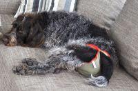 Durch den Schutz der piccobello-Hundewindel darf die Hündin auch während der Läufigkeit auf das Sofa!