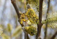 Die Honigbiene landet zuerst an einem männlichen Blütenkätzchen der Sal-Weide. Copyright: Jens Wagner frei im Textzusammenhang