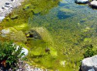 Wird nichts gegen die Algen unternommen, entwickeln sich oft auch Fadenalgen, die als Matte an der Wasseroberfläche treiben.