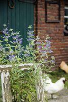 Bartblume 'Blaue Bienenwiese' von LANDGEFÜHl®