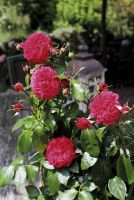 Beetrose 'Herzlicht' verzaubert mit leuchtend-roten, gefüllten Blüten
