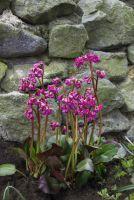 Immergrüne Bergenie 'Herzblatt' von Landgefühl zur Blütezeit im April