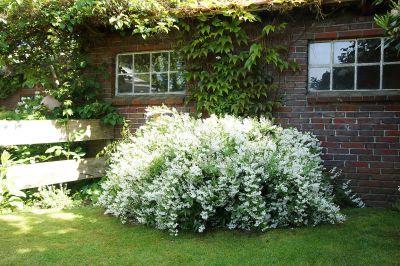 Blütenmeer in weiß -Sternchenstrauch 'Marienkind' von Landgefühl®