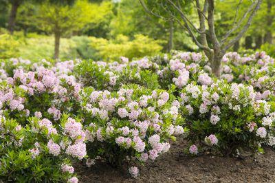 Bloombux als blühender, immergrüner Blickfang in jedem Garten