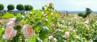 """Die """"Rose de Tolbiac"""" blüht im Rosengarten """"Rosarium Tolbiacum"""" der Landesgartenschau Zülpich 2014."""