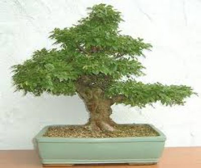 Ulmen Bonsai