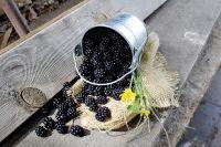 Brombeere 'Sticht nicht' gesammelt vom Strauch in ländlichem Topf