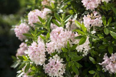 Reich blühende Buchsbaumalternative Bloombux
