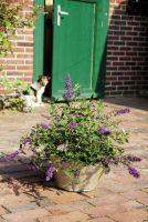 Buddleja 'Kleiner Terrassenfalter' im Kübel auf ländlicher Terrasse