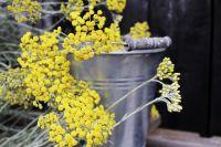 LANDGEFÜHL®-Gewürzkraut_Curryfreude_leuchtend gelbe Blütenkörbchen