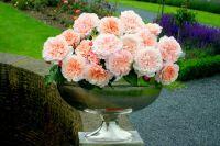 """Mit ihrer außergewöhnlichen Schönheit begeisterte die """"Rose de Tolbiac – Rose für Zülpich"""" die Fachjury der Rosenstadt Zweibrücken"""