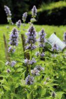 Duftnessel 'Bienen-Wunder' eine Bereicherung für den ländlichen Garten