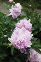 Gefüllte Blüten der Edel-Paeonie 'Pfingstzeit' verschönern ländlichen Garten