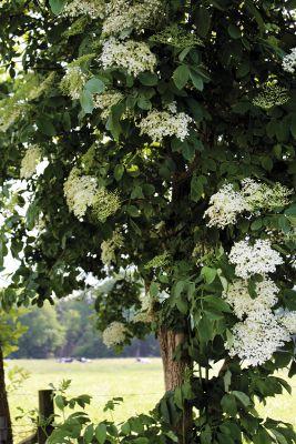 Holunder 'Hausgeist' verschönert Weiderand mit zahlreichen Blütendolden