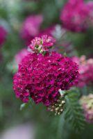 Schafgarbe 'Rotköpfchen' von Landgefühl® in voller Blüte