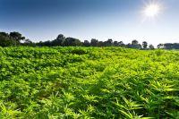Hanf der neue Dämmstoff.Er wächst erheblich schneller als Holz im Wald.Die Ökobilanz des Bio-Nutzhanfs ist vorbildlich(c)Caparol