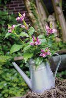 Auch als Schnittblume nicht zu verachten, die Schildblume Zinnsoldat von LANDGEFÜHL®