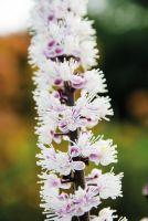 Duftende Blüte der neuen Silberkerze 'Zappenduster' von LANDGEFÜHL®