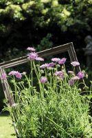 Skabiose 'Antiker Blütenrausch' zeigt sich den ganzen Sommer von ihrer schönsten Seite