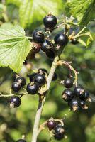 Johannisbeere 'Schlaraffenländle' aromatische Beeren an Strauch