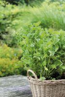 Minze 'Sommerbrise' im Kräuterkorb