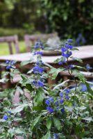 Landgefühl®-Neuheit Bartblume 'Königskleid' auf der Terrasse
