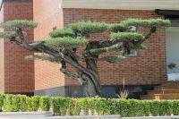 Olea europaea Horizontalis - Olivenbaum - Botanic-International