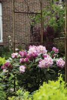 Rhododendron 'Luftschloss' im Rosenbogen, romantisch zartrosa
