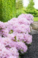 Rosa INKARHO®-Dufthecke als Heckenpflanzung