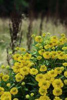 Sonnenbraut 'Weideknöpfchen' von Landgefühl® mit langer Blütezeit von Juli bis Oktober