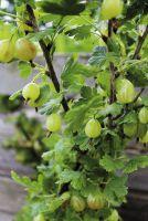 Stachelbeere 'Dornenloses Glück' Strauch mit Früchten im ländlichen Garten