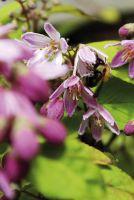 Sternchenstrauch 'Purpurglanz' zieht Bienen und Hummeln magisch an