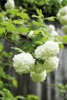 Viburnum 'Tanzender Ball' zeigt sich mit weißen Blütenbällen