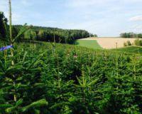 Weihnachtsbaum Zentrale: original Ambrolauri Nordmanntannen zum Vorzugspreis deutschlandweit
