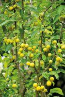 Zierapfel 'Goldtaler' zeigt gold-gelbe Früchte im Herbst