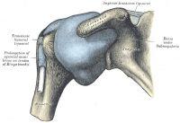 Orthopädie - Das Schultergelenk