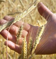 Bestes Getreide aus veganem Friedfertigem Landbau im Spessart