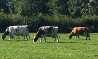 Kühe lieben es auf der Weide zu sein