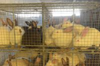 Tierquäler im Kaninchenschlachthof-Beelitz: Deutsches Tierschutzbüro e.V. erstattet Strafanzeige