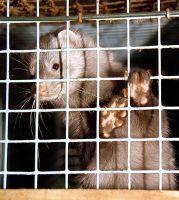 Arbeitskreis humaner Tierschutz e.V. stellt Strafanzeige gegen Nerzfarm in Wesenberg