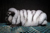 """Aufgedeckt: """"Monsterfüchse"""" leiden auf finnischen Pelzfarmen - Fell wird auch in Deutschland verkauft"""