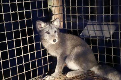 Deutsches Tierschutzbüro deckt Tierquälerei auf polnischen Pelzfarmen auf & rettet Polarfuchs