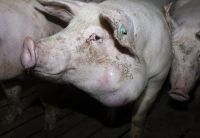 Aufgedeckt: Größte Schweinemast Niedersachsens quält Tiere für Tönnies