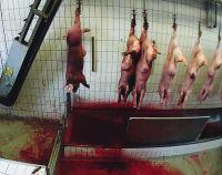 Geschlagen, getreten, fehlbetäubt: Tierquälerei und Gesetzesverstöße in Bio-Schlachthof bei Berlin aufgedeckt