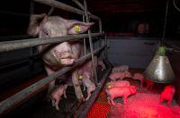 Getreten, misshandelt, totgeschlagen: Aktuelle Videoaufnahmen aus dem Schweinehochhaus