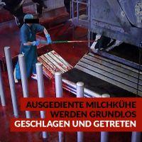 Ministerium machtlos: Tierquälerei in niedersächsischen Schlachthäusern -Videoüberwachung gescheitert